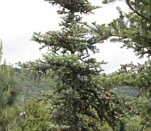 Smrk - Picea alcoquiana