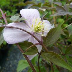 Plamének horský 'Mayleen' - Clematis montana 'Mayleen'
