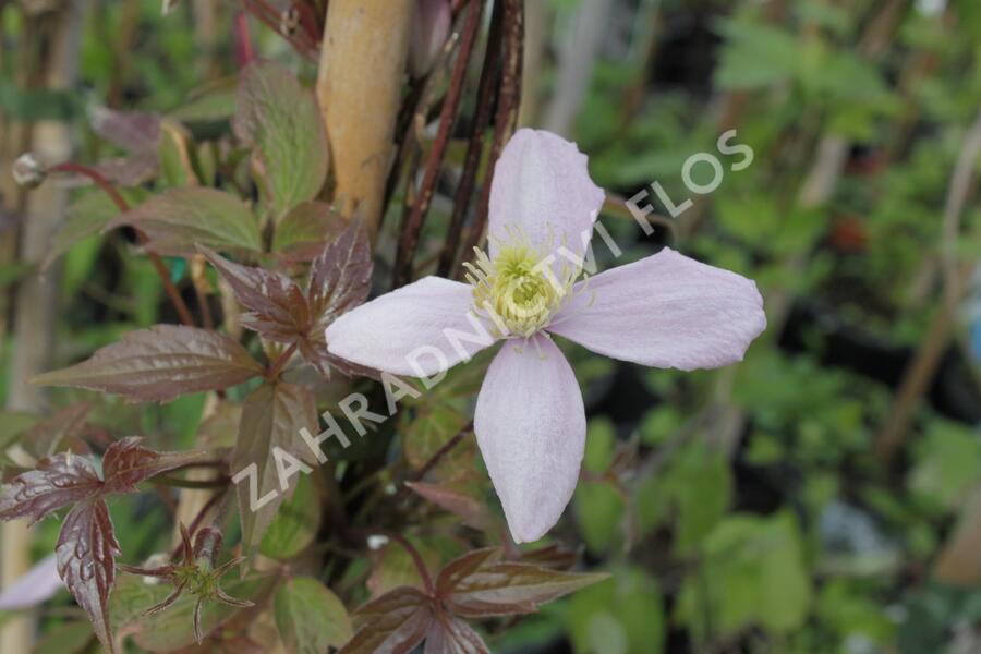 Plamének horský 'Fragrant Spring' - Clematis montana 'Fragrant Spring'