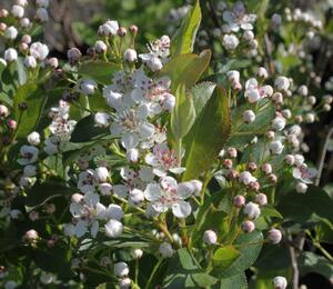 Temnoplodec černoplodý 'Autumn Magic' - Aronia melanocarpa 'Autumn Magic'