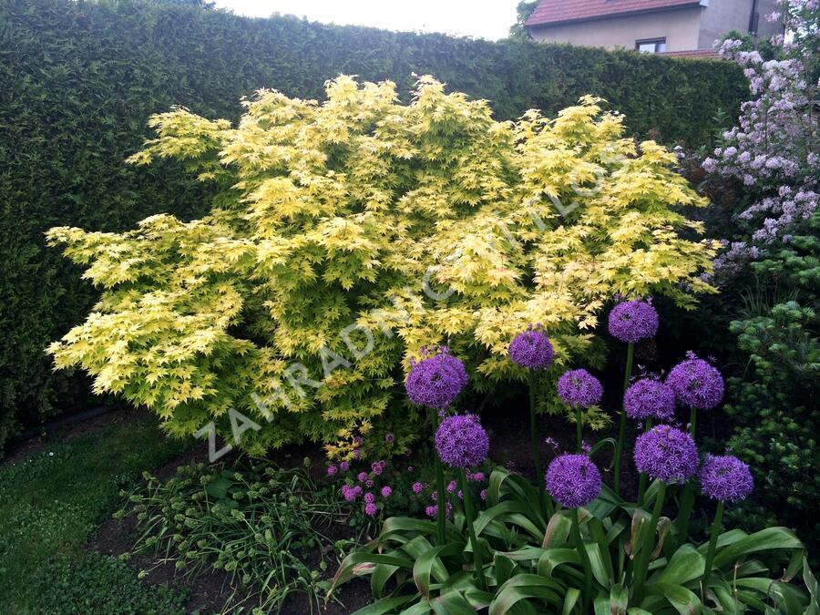 Javor dlanitolistý 'Summer Gold' - Acer palmatum 'Summer Gold'