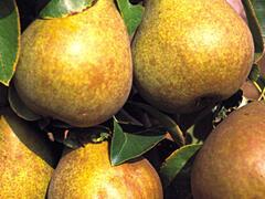 Hrušeň podzimní 'Hardyho máslovka' - Pyrus communis 'Hardyho máslovka'