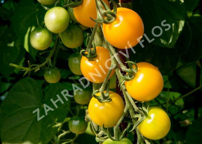 Rajče tyčkové 'Goldkrone' - Lycopersicon esculentum 'Goldkrone'