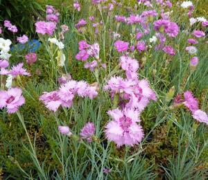 Hvozdík péřitý 'Fruhlingswonne' - Dianthus plumarius 'Fruhlingswonne'