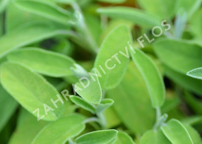 Šalvěj lékařská 'Salina' - Salvia officinalis 'Salina'