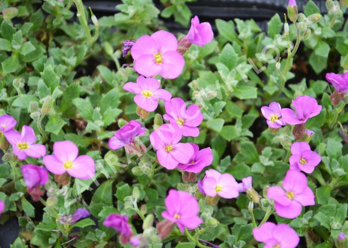 Tařička kosníkovitá 'Axcent Antique Rose' - Aubrieta deltoides 'Axcent Antique Rose'