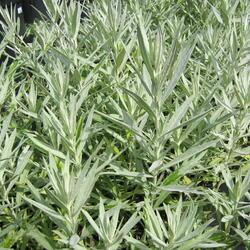 Pelyněk Ludvíkův 'Silver Queen' - Artemisia ludoviciana 'Silver Queen'