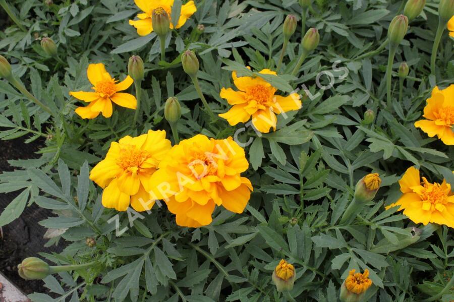 Aksamitník rozkladitý, afrikán 'Solena Gold' - Tagetes patula 'Solena Gold'