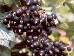 Rybíz černý 'Öjebyn' - Ribes nigrum 'Öjebyn'