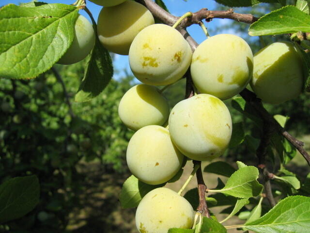 Renklóda - středně raná 'Zelená renklóda' - Prunus domestica 'Zelená renklóda'