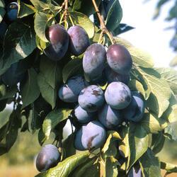 Švestka - pozdní 'Domácí velkoplodá' - Prunus domestica 'Domácí velkoplodá'