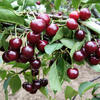 Višeň pozdní - kyselka 'Morellenfeuer' - Prunus cerasus 'Morellenfeuer'