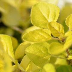 Dobromysl obecná 'Goldtaler' - Origanum vulgare 'Goldtaler'