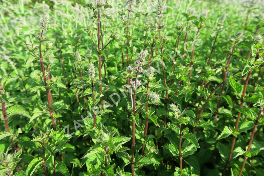 Máta peprná 'Multimentha' - Mentha piperita 'Multimentha'