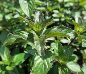 Máta peprná 'Chocolate' - Mentha piperita 'Chocolate'