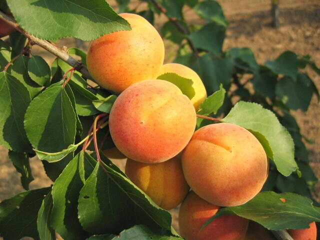 Meruňka - pozdní 'Bergeron' - Prunus armeniaca 'Bergeron'
