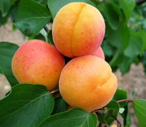 Meruňka - pozdní 'Hargrand' - Prunus armeniaca 'Hargrand'