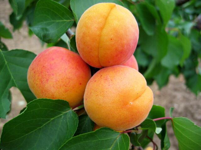 Meruňka pozdní 'Hargrand' - Prunus armeniaca 'Hargrand'