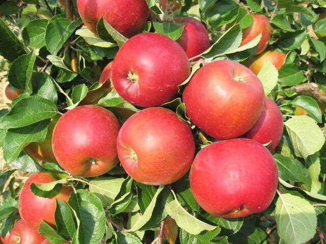 Jabloň podzimní 'Diadém' - Malus domestica 'Diadém'