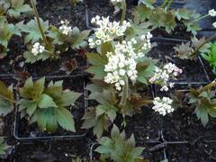 Mukdenie - Aceriphyllum rossii