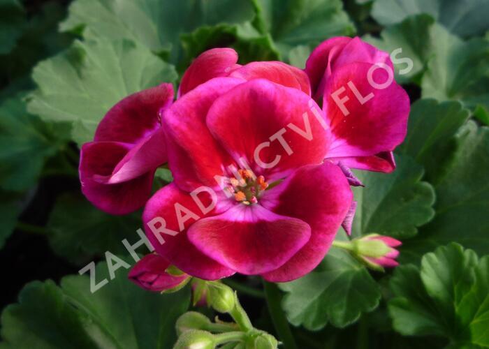 Muškát, pelargonie páskatá klasická 'Burgundy Splash' - Pelargonium zonale 'Burgundy Splash'