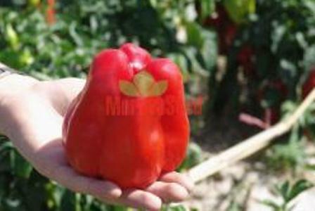 Paprika polní 'Granova' - Capsicum annuum 'Granova'