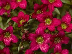 Lomikámen arendsův 'Alpino Rose' - Saxifraga x arendsii 'Alpino Rose'