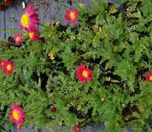 Listopadka šarlatová 'Robinson Red' - Chrysanthemum coccineum 'Robinson Red'