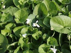 Violka vonná 'Albiflora' - Viola odorata 'Albiflora'