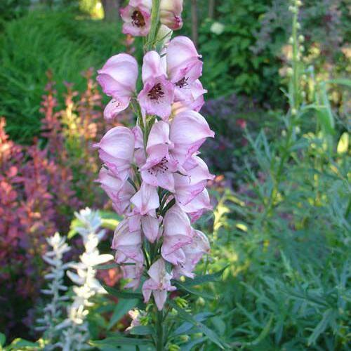 Oměj šalamounek 'Rubellum' - Aconitum napellus 'Rubellum'