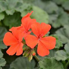 Muškát, pelargonie půdopokryvná 'Dark Caliente Orange' - Pelargonium hybridum 'Dark Caliente Orange'