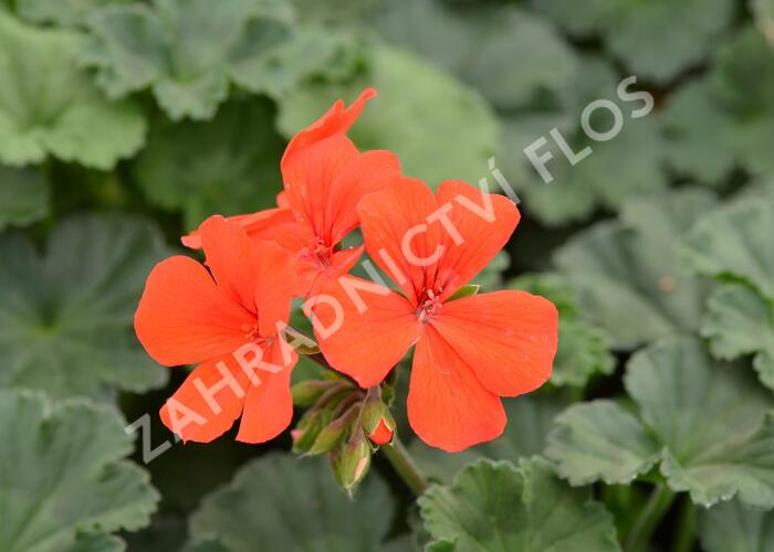 Muškát, pelargonie půdopokryvná 'Dark Caliente Orange' - Pelargonium hybridum 'Dark Caliente Orange'
