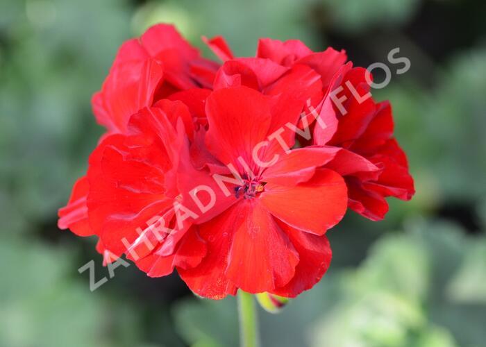Muškát, pelargonie půdopokryvná plnokvětá 'Calliope Dark Red' - Pelargonium hybridum 'Calliope Dark Red'