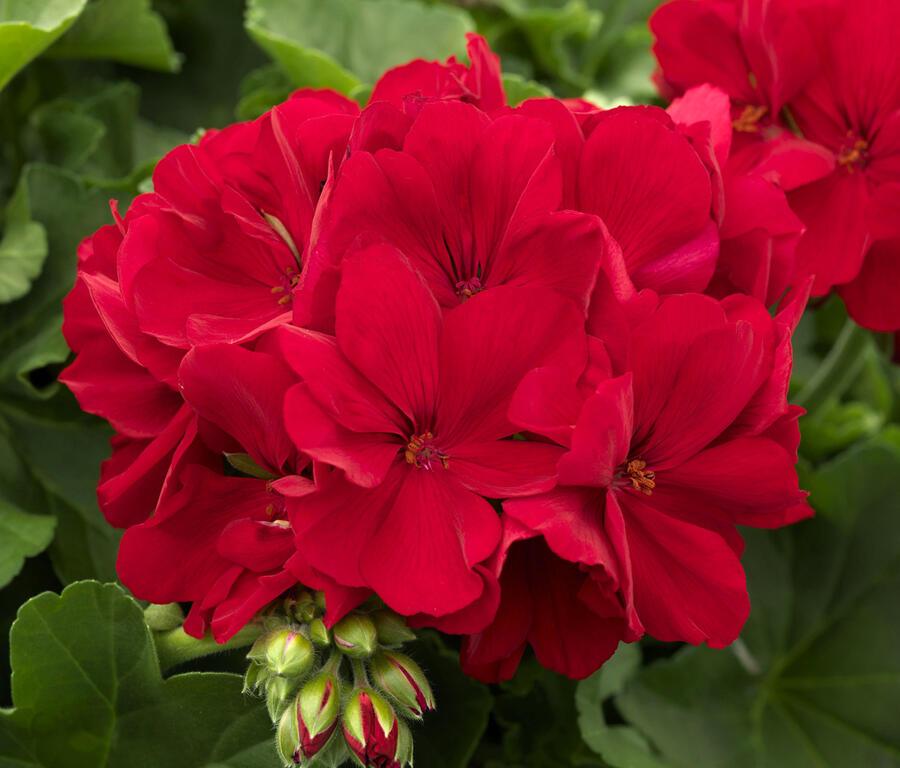 Muškát, pelargonie půdopokryvná 'Calliope Dark Red' - Pelargonium hybridum 'Calliope Dark Red'