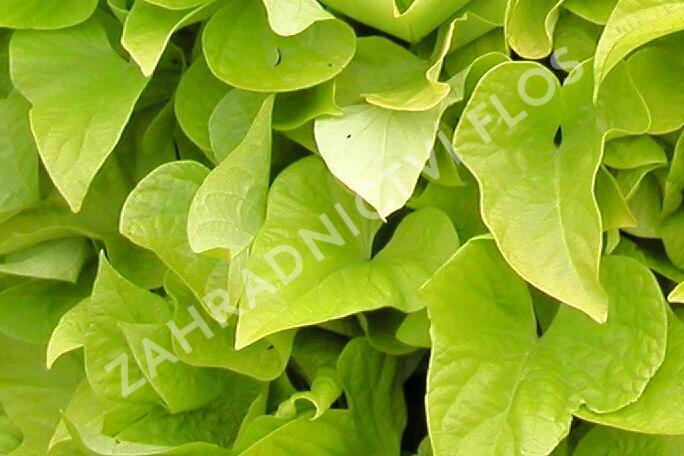 Povíjnice batátová 'Yellow' - Ipomoea batatas 'Yellow'