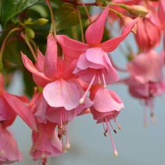 Čílko, fuchsie 'Pink Galore' - Fuchsia hybrida 'Pink Galore'