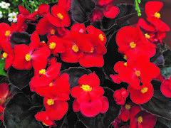 Begónie stálokvětá, ledovka, voskovka 'Marsala Scarlet' - Begonia semperflorens 'Marsala Scarlet'