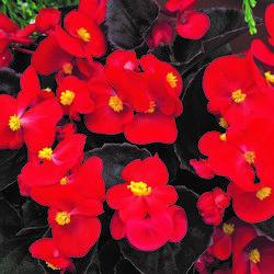 Begónie stálokvětá, ledovka, voskovka 'Bronze Scarlet' - Begonia semperflorens 'Bronze Scarlet'