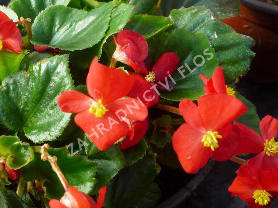 Begónie stálokvětá, ledovka, voskovka 'Brasil Scarlet' - Begonia semperflorens 'Brasil Scarlet'