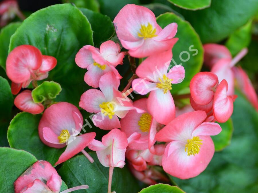 Begónie stálokvětá, ledovka, voskovka 'Brasil Rose Blush' - Begonia semperflorens 'Brasil Rose Blush'