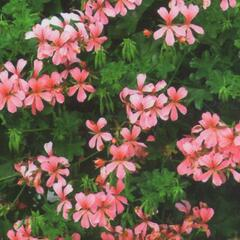Muškát, pelargonie převislá jednoduchá 'Ville de Paris Rose' - Pelargonium peltatum 'Ville de Paris Rose'