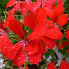 Muškát, pelargonie převislá jednoduchá 'Ville de Paris Red' - Pelargonium peltatum 'Ville de Paris Red'