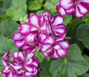 Muškát, pelargonie převislá plnokvětá 'Corriente Burgundy Bicolor' - Pelargonium peltatum 'Corriente Burgundy Bicolor'