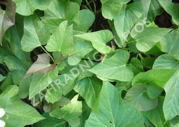 Povíjnice batátová 'Green' - Ipomoea batatas 'Green'