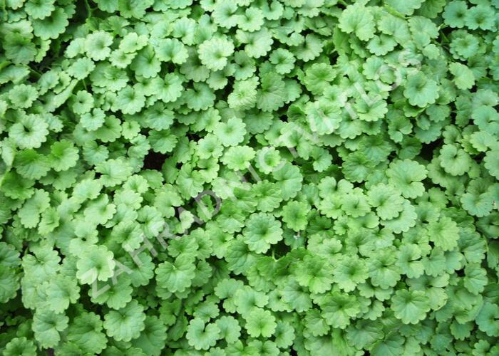 Popenec břečťanovitý - Glechoma hederacea