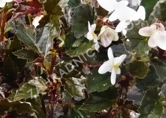 Begónie 'Maribel' - Begonia obliqua 'Maribel'