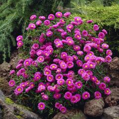 Hvězdnice keříčkovitá - Aster dumosus - růžová