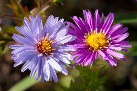 Hvězdnice keříčkovitá - Aster dumosus - fialová mix