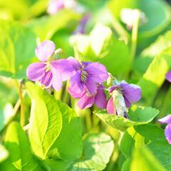 Violka - Viola sororia mix
