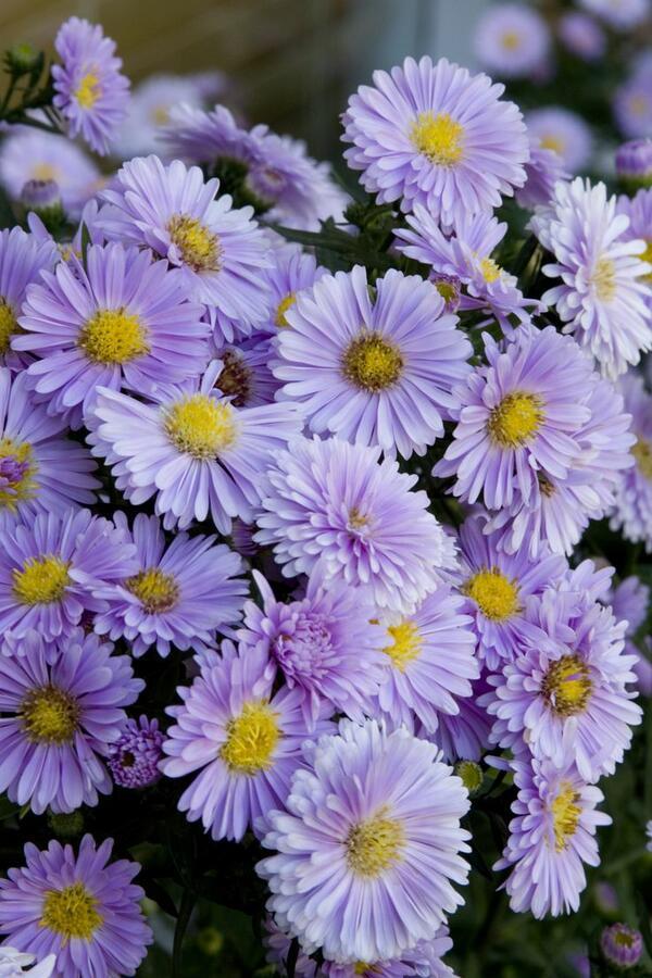 Hvězdnice novobelgická - Aster novi-belgii - fialová mix